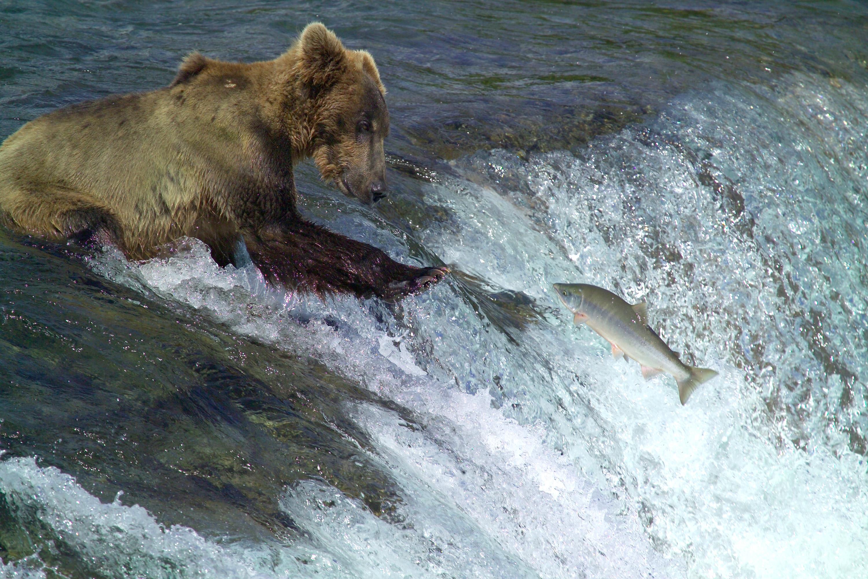 salmon wallpapers