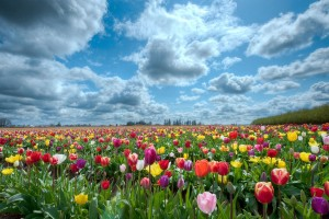 scenery tulip flowers