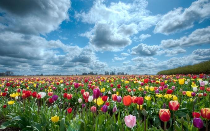 scenery tulip flowers