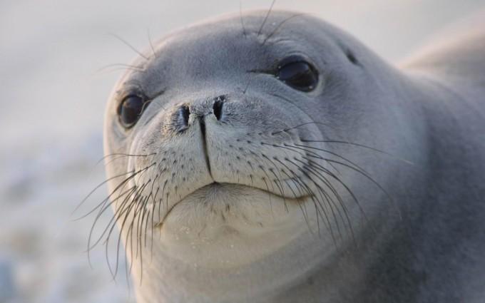 sea lion hd