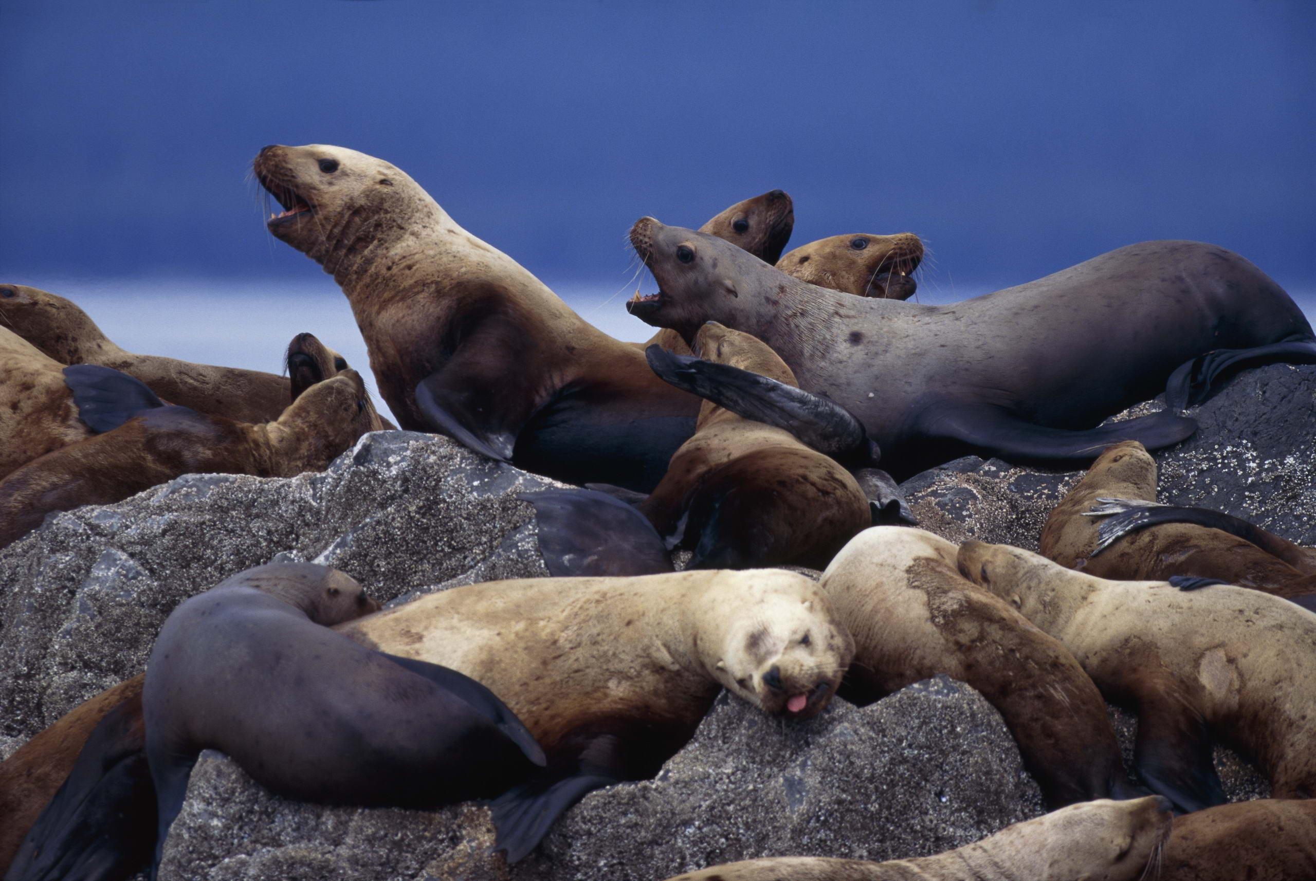 sea lion ocean