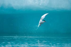 seabird arctic
