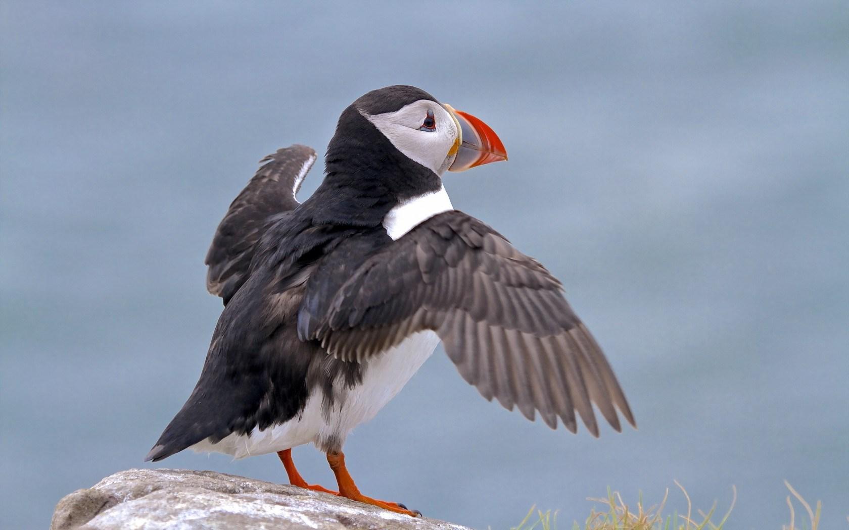 seabird puffin