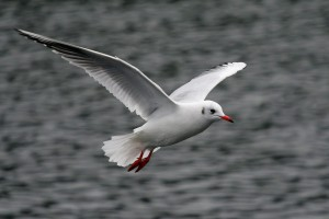seagull birds pictures