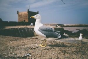 seagull image