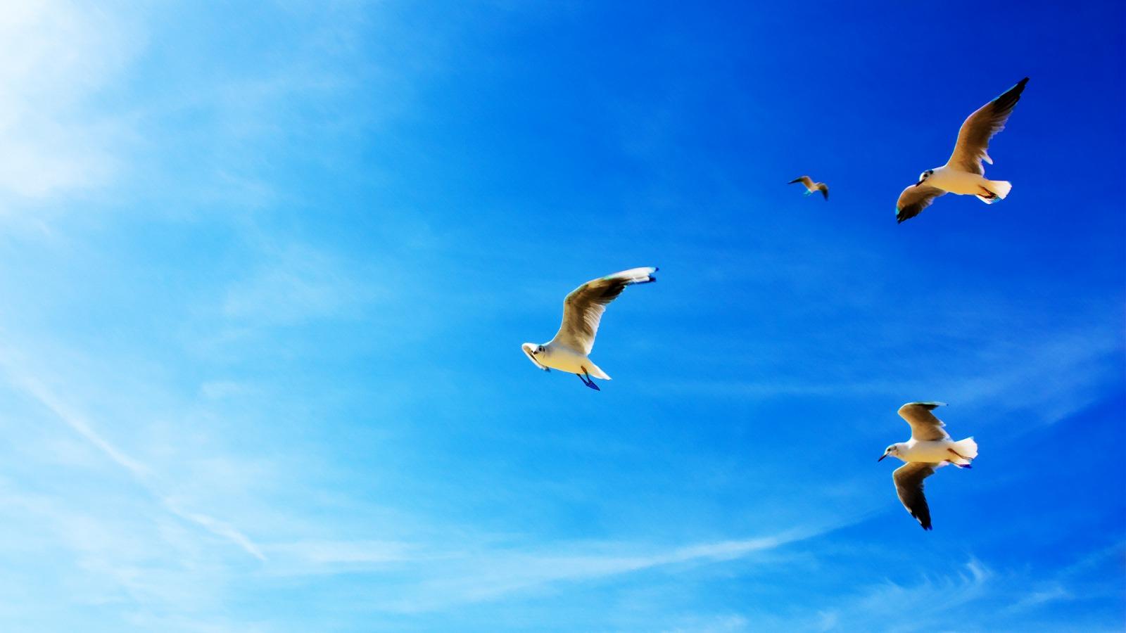 seagulls wallpapers