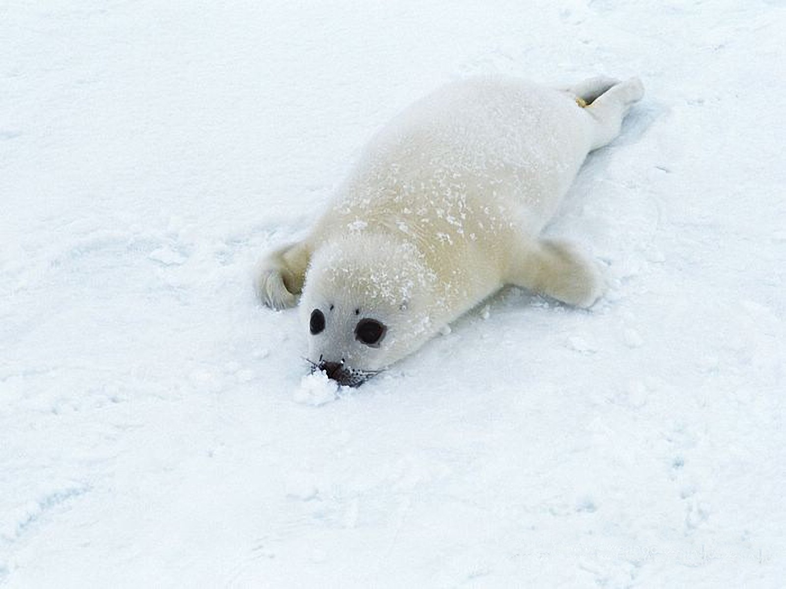seal pup pictures