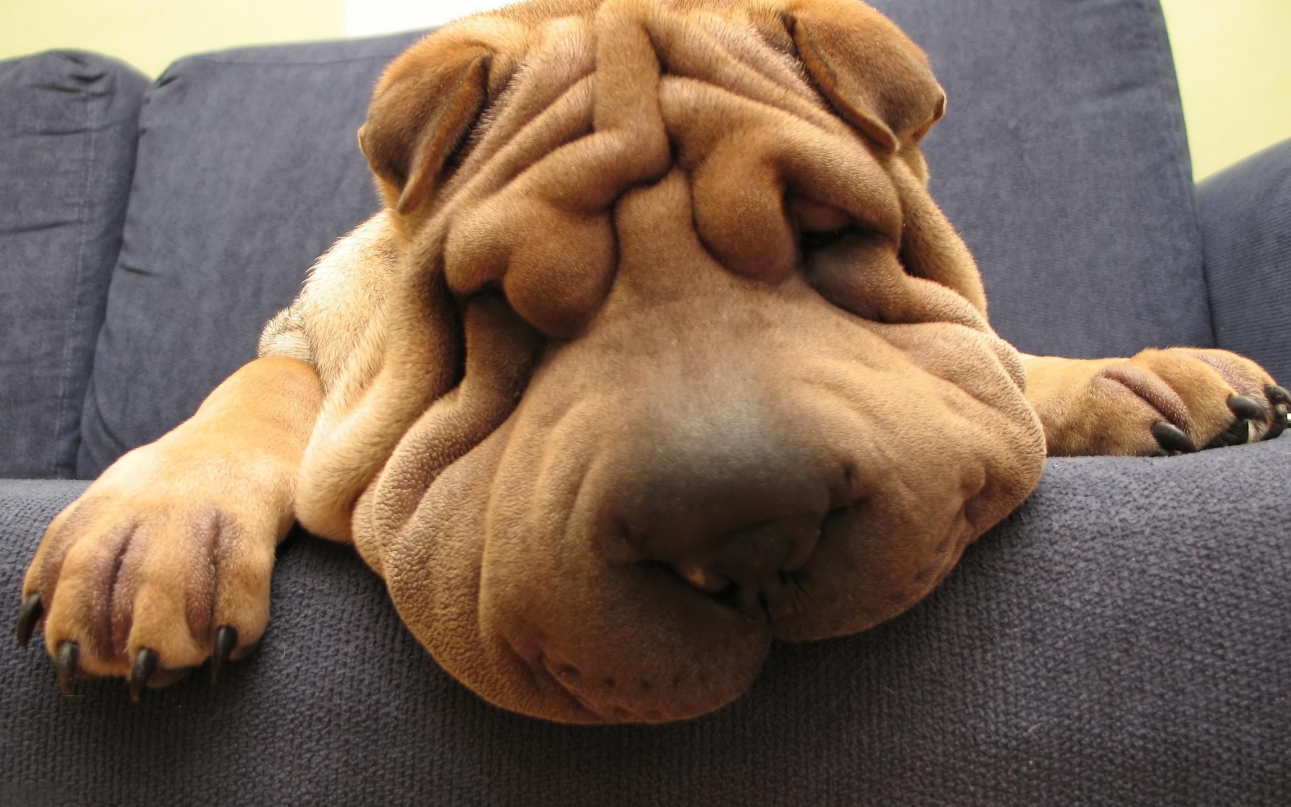 shar pei dogs