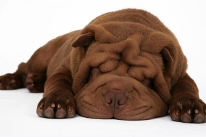 shar pei sleep cute