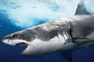 shark background