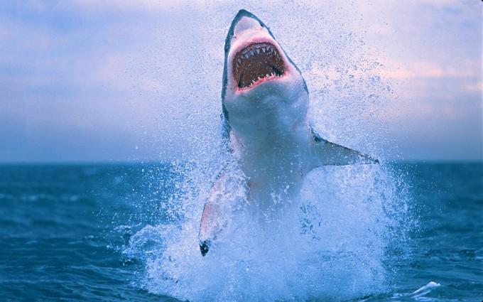 shark wallpapers