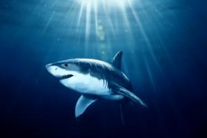 sharks background