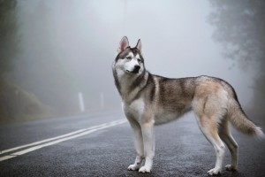 siberian husky beautiful