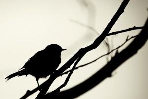 silhouette wallpaper bird