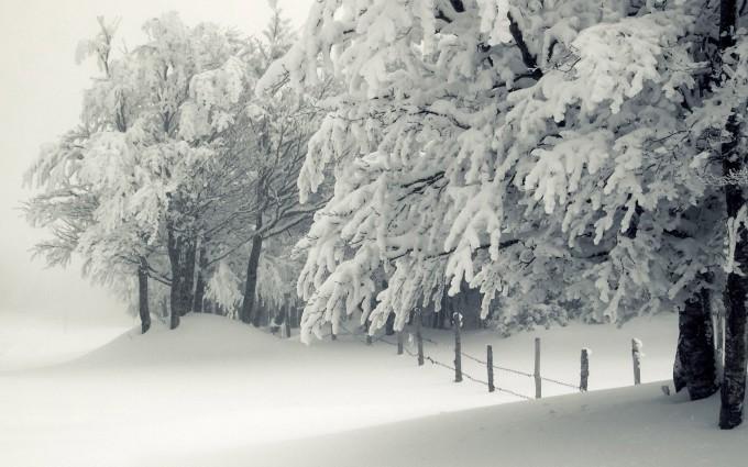 snowy trees winter