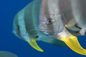 spadefish wallpaper