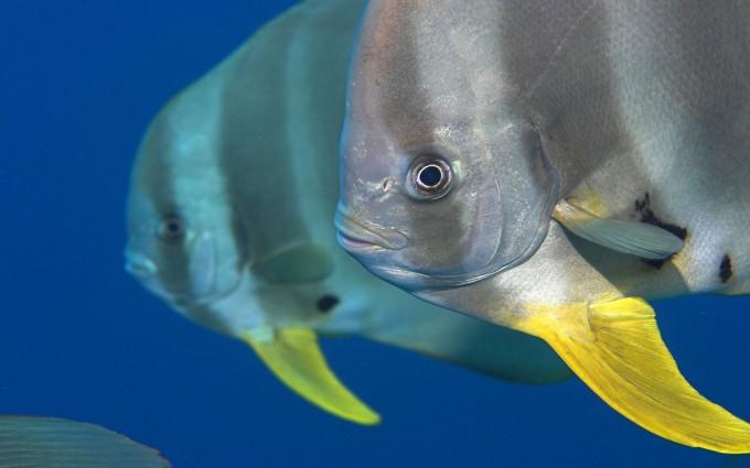 spadefish wallpaper