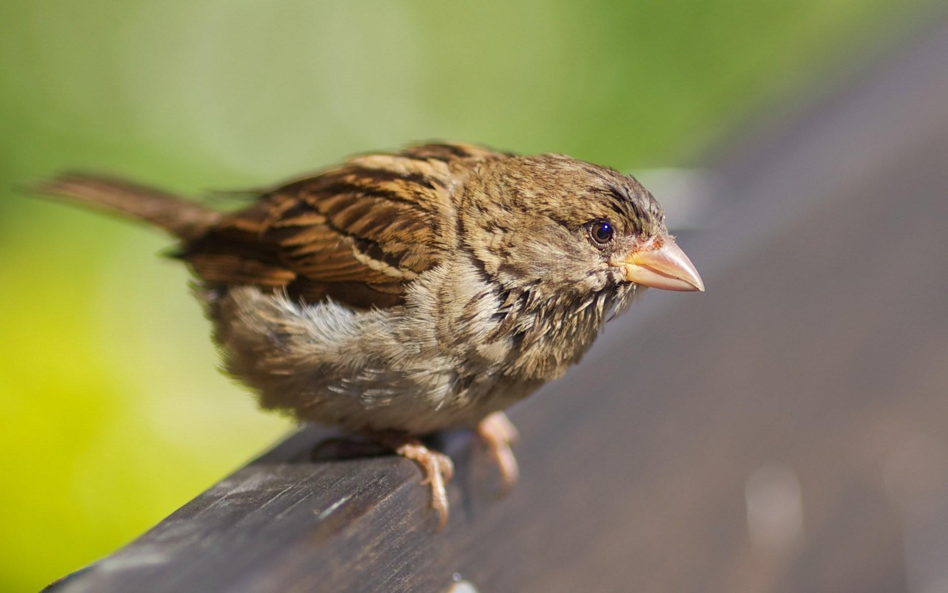 sparrow bird images