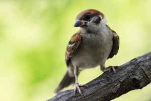 sparrow bird pictures