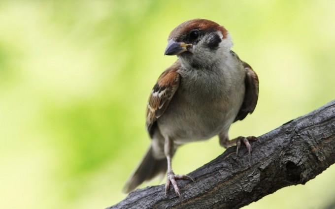 sparrow bird pictures