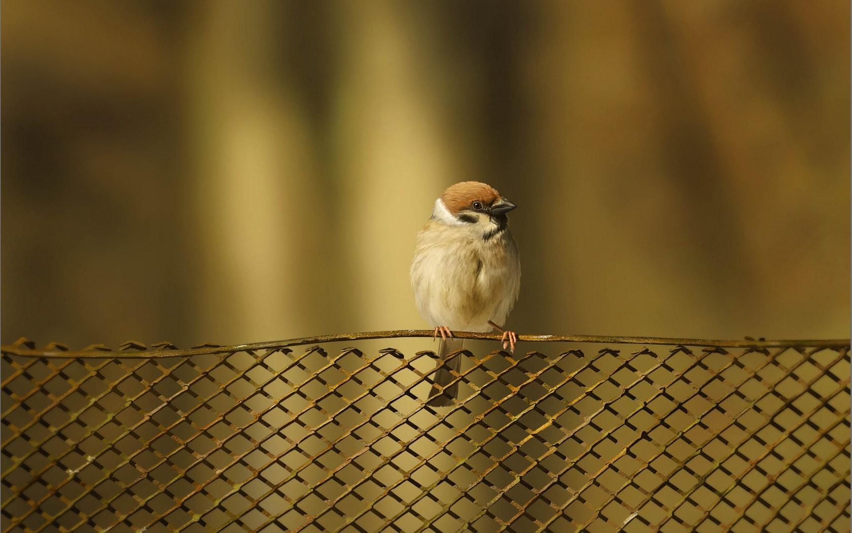 sparrow images bird