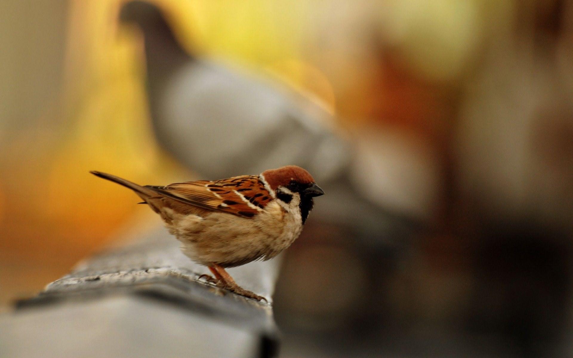 Sparrow Images - HD Desktop Wallpapers