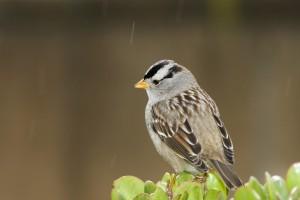 sparrows birds