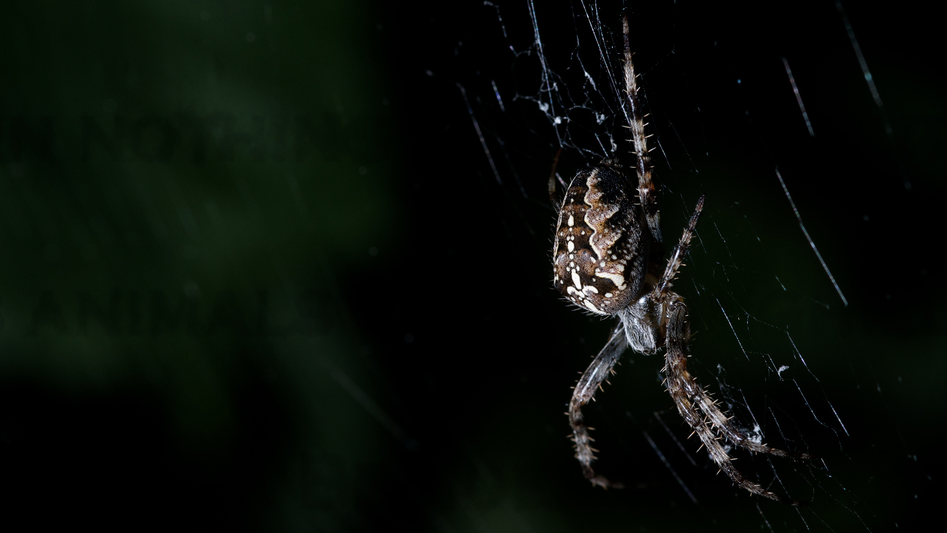 spider picture hd