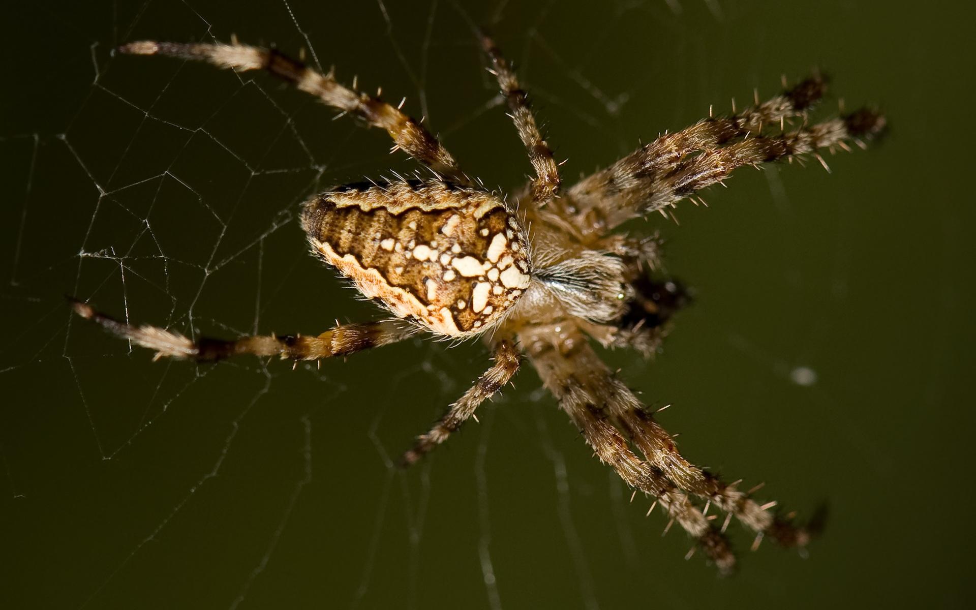 Spider pictures hd hd desktop wallpapers 4k hd - Moving spider desktop ...