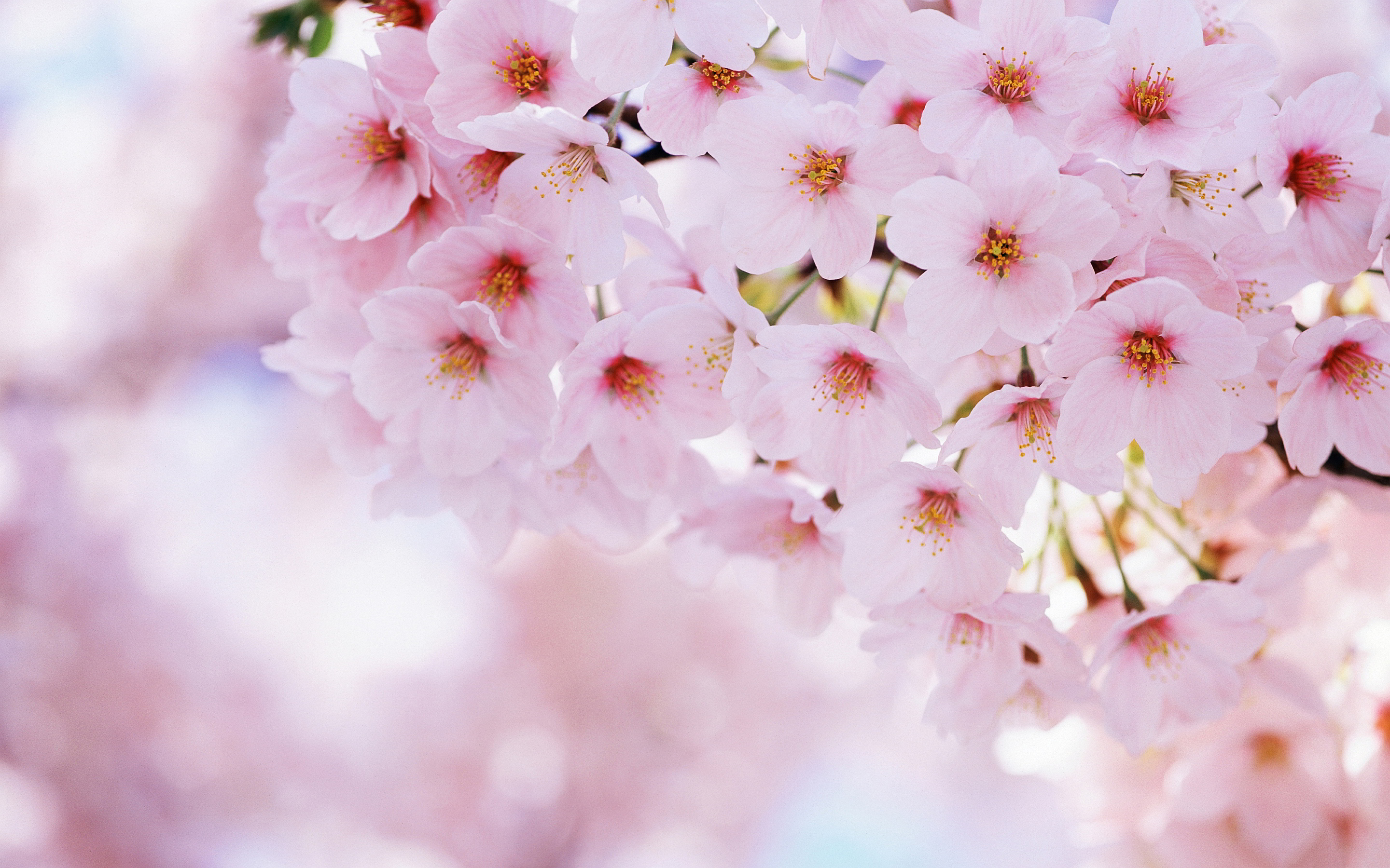 sping cherry blossom