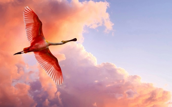 Roseate spoonbill flies against a pink, purple, lavender and coral cloud covered evening sky