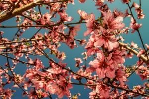 spring wallpaper blossom