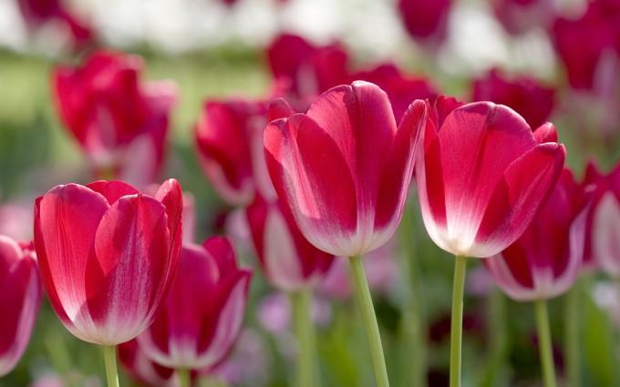 spring wallpaper flower