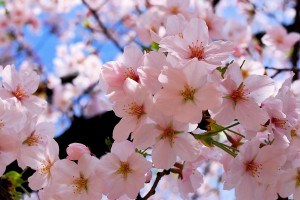 spring wallpaper flower hd