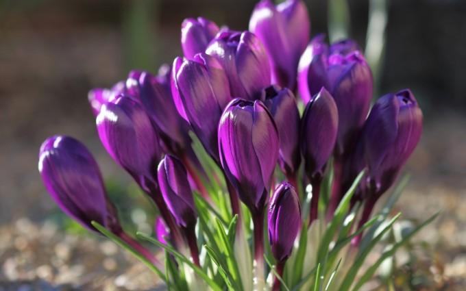 spring wallpaper purple floer