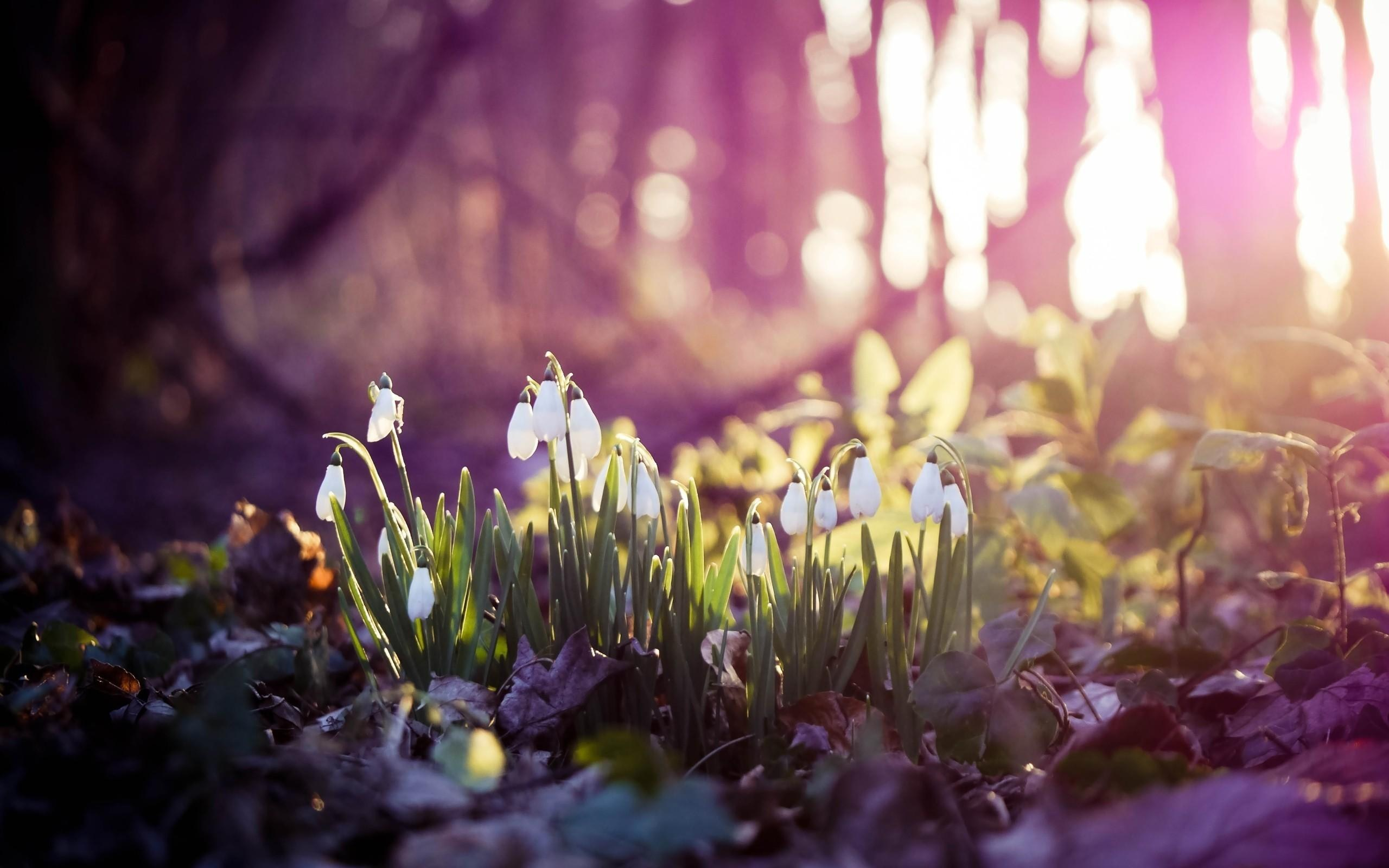 spring wallpaper snow drops