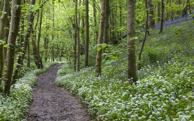 Deciduous woodland, track with flowering bluebells and ramsons, Port Castle Bay, Dumfries and Galloway, Scotland, spring