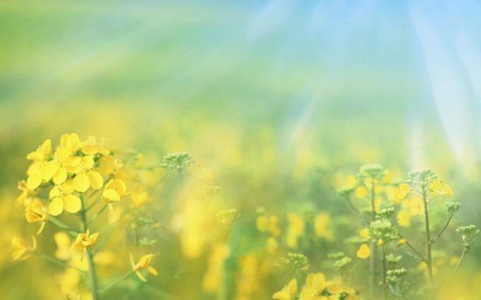 spring wallpaper yellow flowers