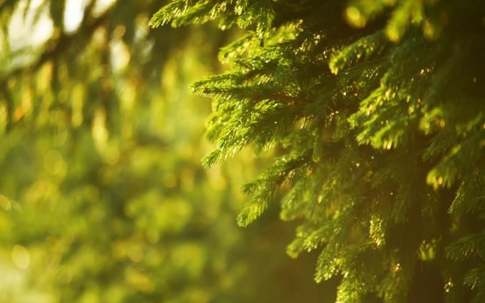spruce wallpaper