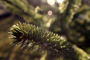 spruce wallpaper background