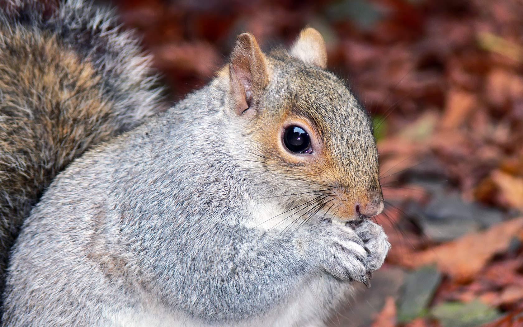 squirrel download