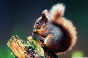 squirrels wallpaper