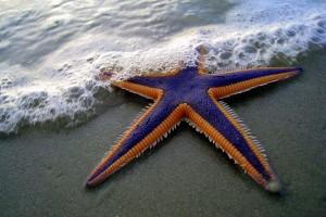 star fish species