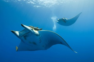 stingray pictures