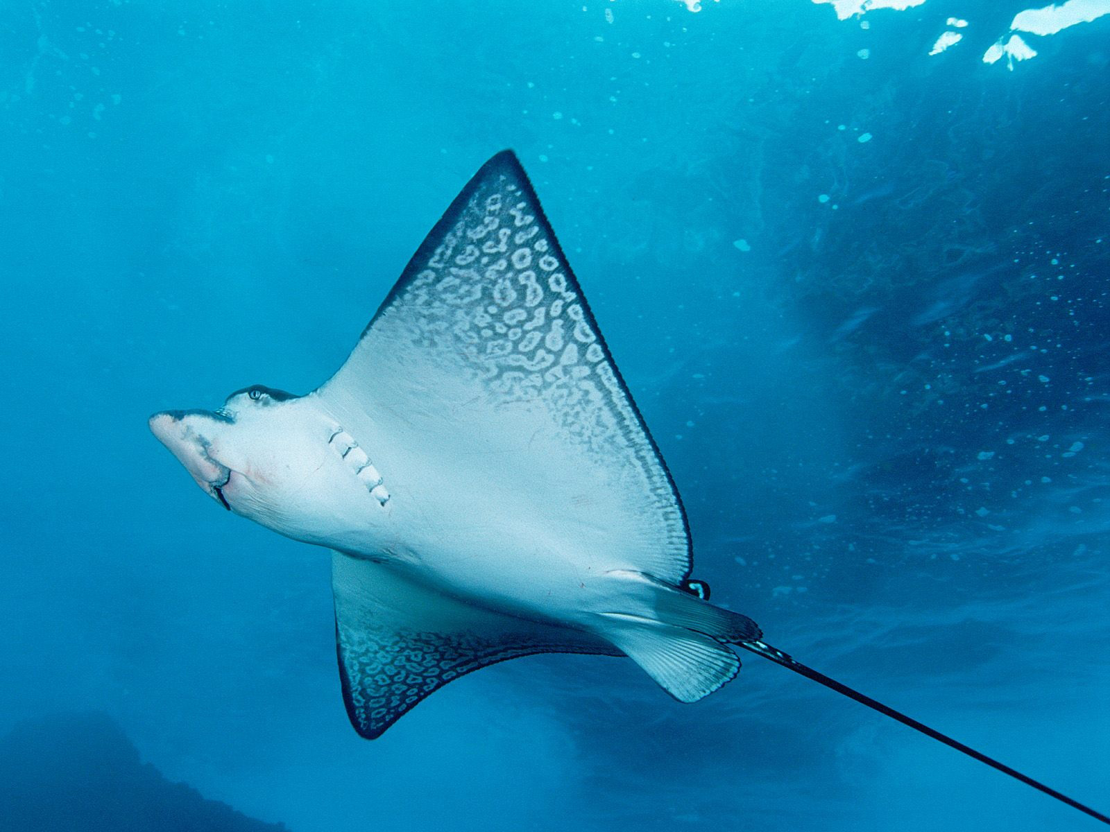 stingray wallpaper hd