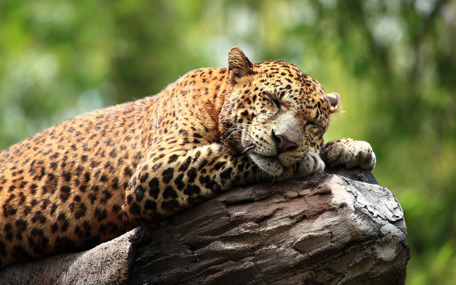 The portrait of a Leopard has been made to Bali in September, 2009