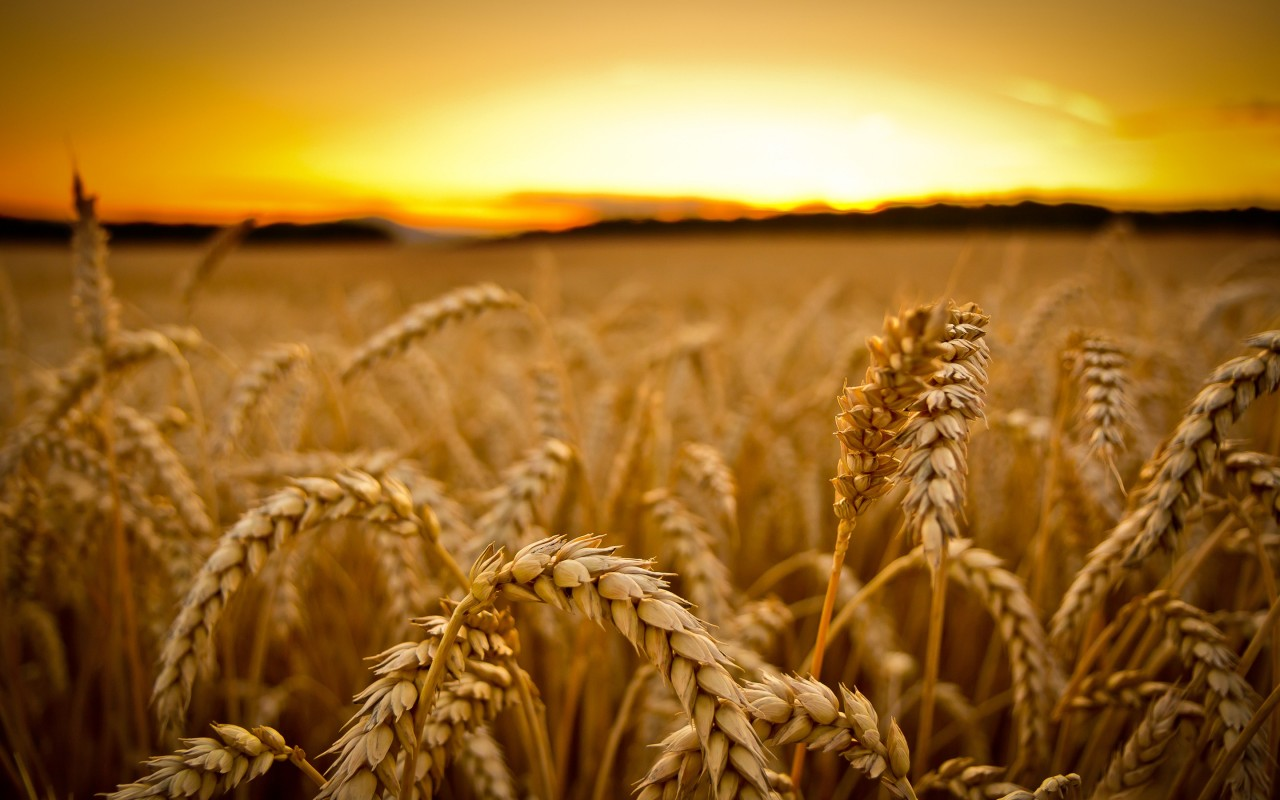 summer sunset wallpaper cornfield