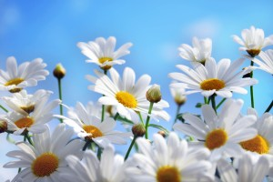 summer wallpaper daisies