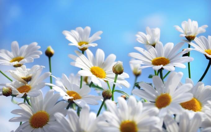 summer wallpaper daisies