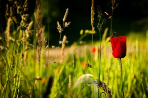 summer wallpaper poppies